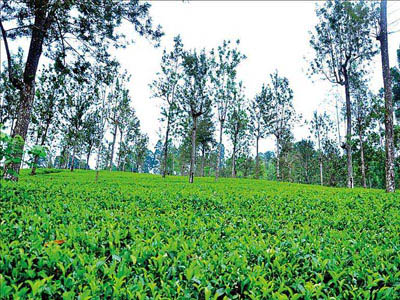 A tea estate at Bogawantalawa